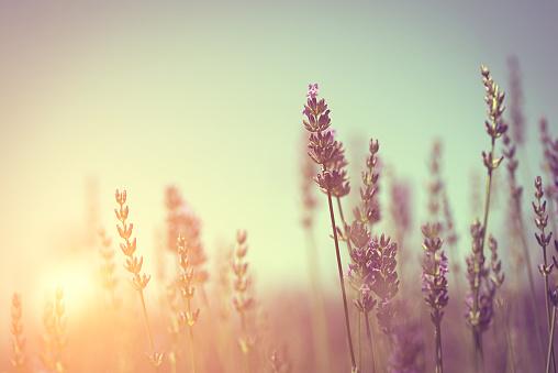 Vintage Photo Of Lavender Field-foton och fler bilder på Antik