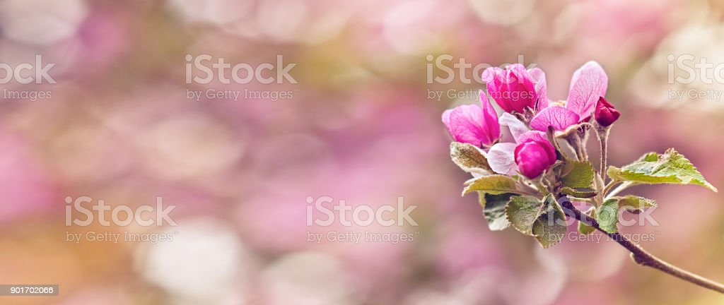 Vintage photo of pink apple tree flowers in spring. Shallow depth of field stock photo