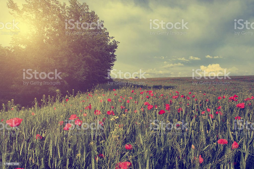Vintage photo of poppy field in sunset royalty-free stock photo