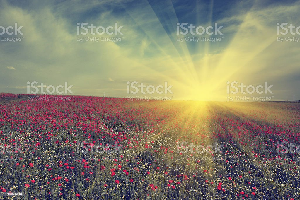 Vintage photo of poppy field in sunset stock photo