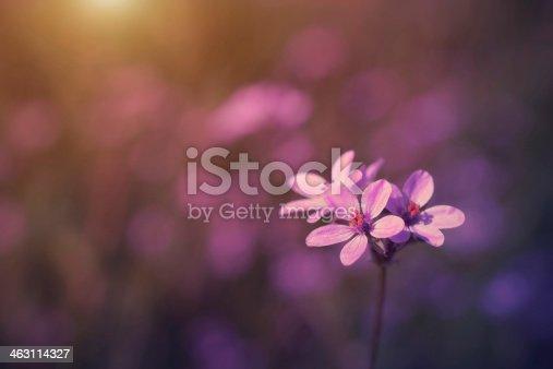 istock Vintage photo of wild flower in sunset 463114327