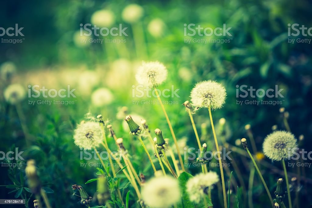 Vintage photo of withered dandelions stock photo
