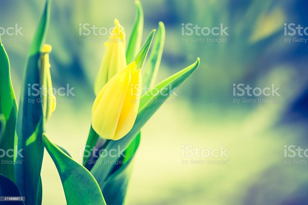 Vintage photo of yellow tulip flower stock photo