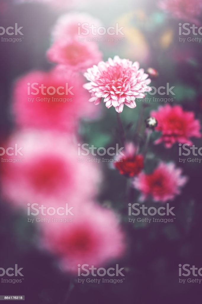 vintage pink flowers royalty-free stock photo