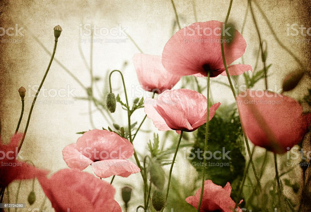 vintage poppies background stock photo