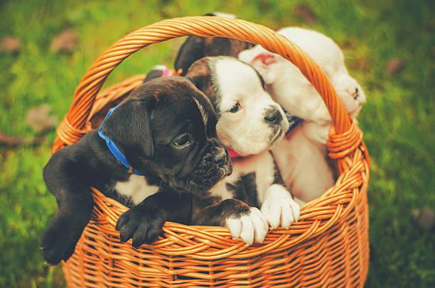Vintage puppies in basket stock photo