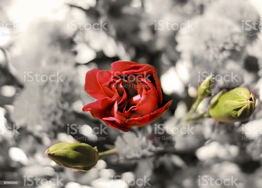Vintage Rose royalty-free stock photo