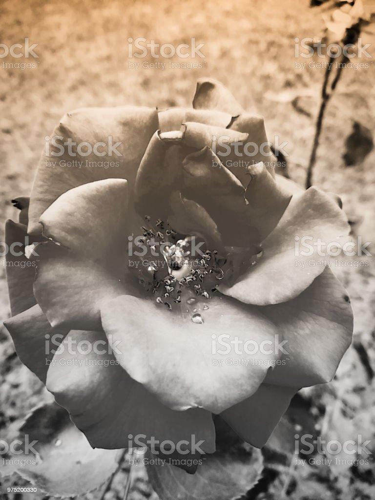 Vintage rose - foto stock