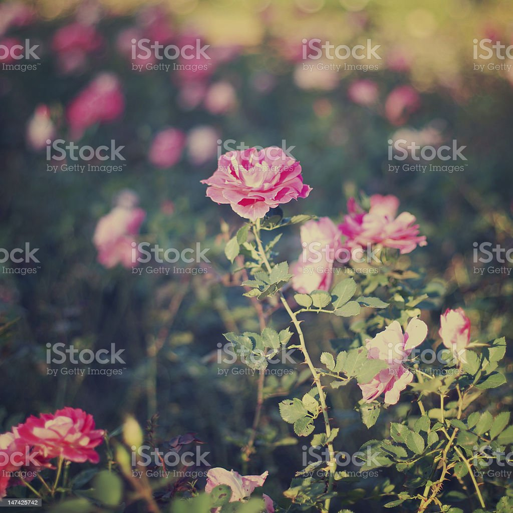 Vintage rose with bokeh royalty-free stock photo