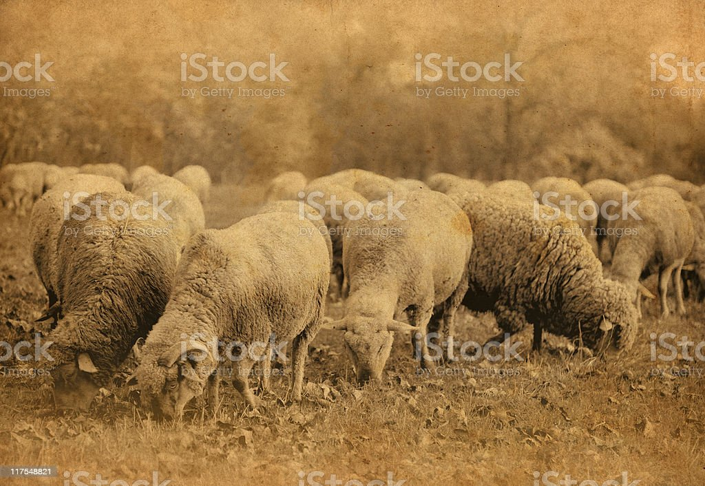 vintage sheeps stock photo