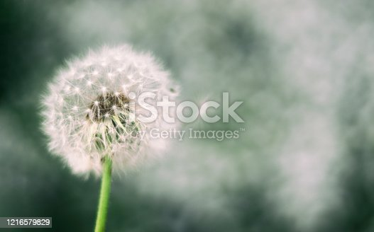 Vintage soft light tone and abstract nature background with dandelion out of focus