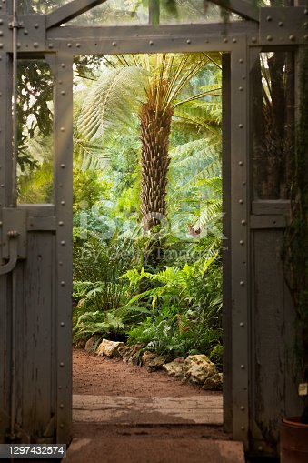 istock Vintage steel and glass door in greenhouse with lush plants. View of old tropical greenhouse with evergreen plants, sunlight 1297432574