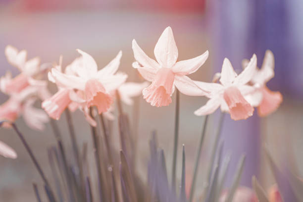 Vintage Style Daffodils, soft focus background, copy space, pastel muted colors with copy space stock photo