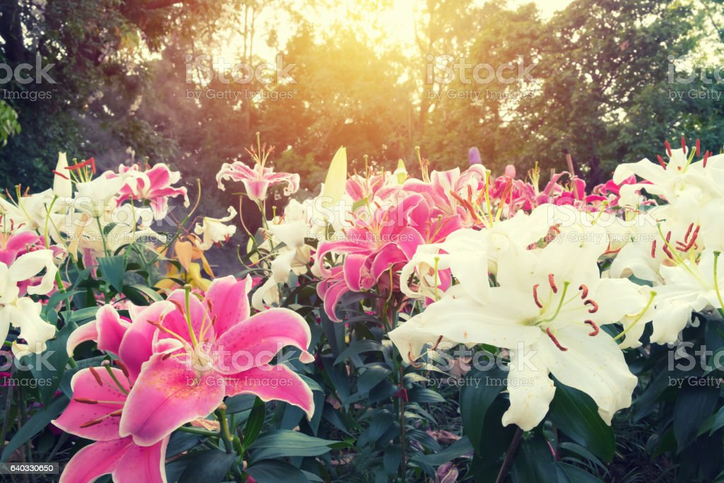 Vintage style Lilly Flower in the garden stock photo