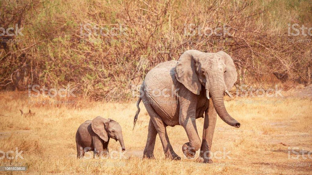 Una foto de estilo vintage de una hembra elefante africano, Loxodonta africana, caminando con su pequeña cría joven. La madre tiene un bulto en su abdomen que puede ser un problema de salud. Botswana. - foto de stock