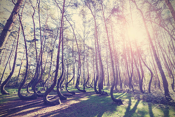 Vintage style picture of Crooked Forest, Gryfino in Poland. stock photo