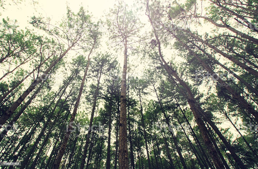 Vintage Style,Pine branches in the sky, closeup of photo stock photo
