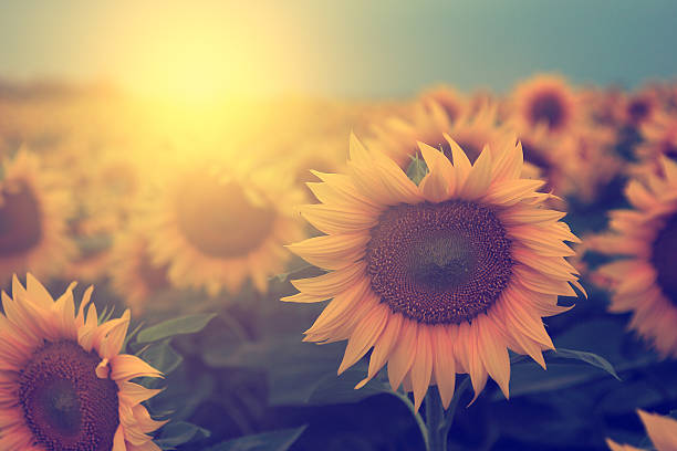 Vintage Sunflower Field Stock Photo