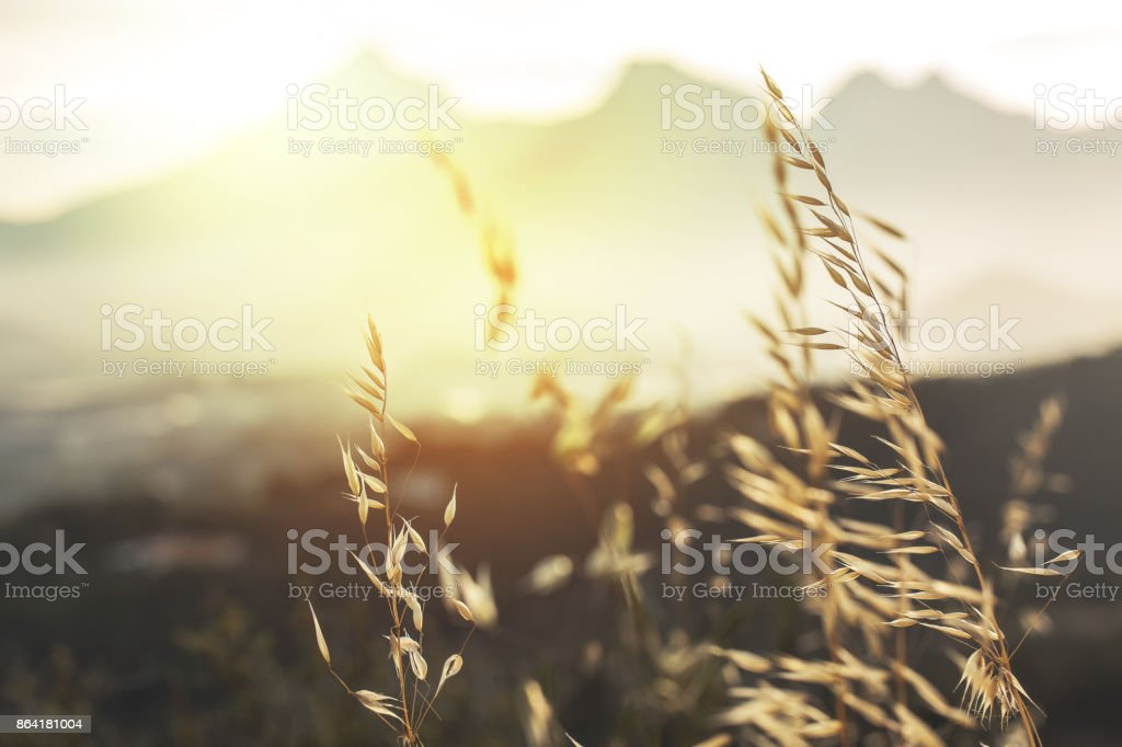 vintage sunny photo of wild meadow grass in field on natural sunny background. Fresh morning outdoor photo with warm summer colors royalty-free stock photo