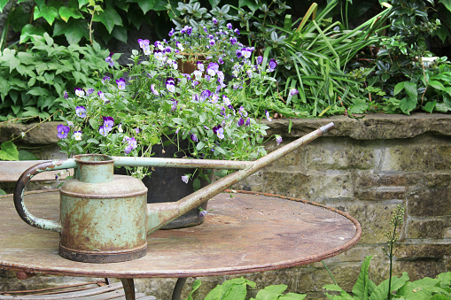Vintage watering can filled with pansy flowers.