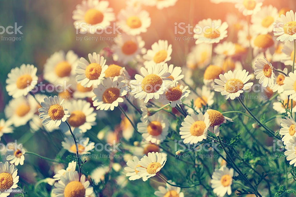 Vintage wild chamomile flowers radiating in the sunlight stock photo