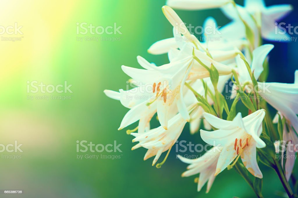 Vintage wild lily flowers natural background stock photo