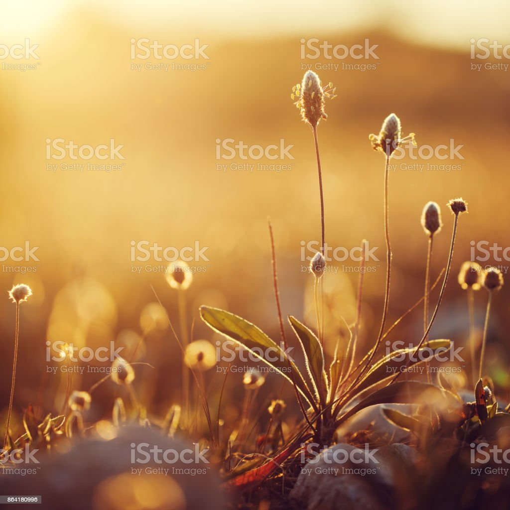vintage wild meadow plants in spring field in morning on natural yellow orange sunny background. Outdoor fresh photo royalty-free stock photo