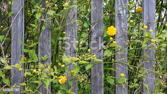 istock Vintage wooden fence and yellow blooms in HD ratio 16x9 840841782