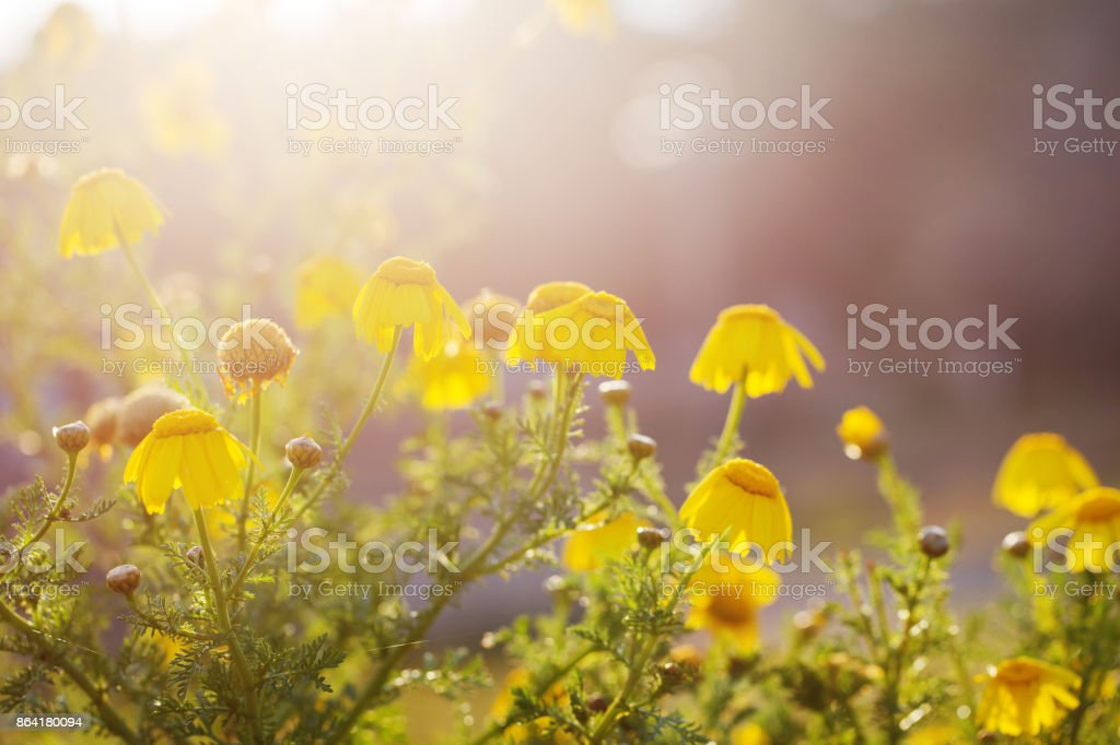 vintage yellow flowers nature spring background royalty-free stock photo