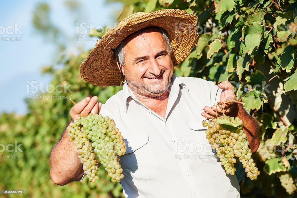 vintager harvesting the grape stock photo