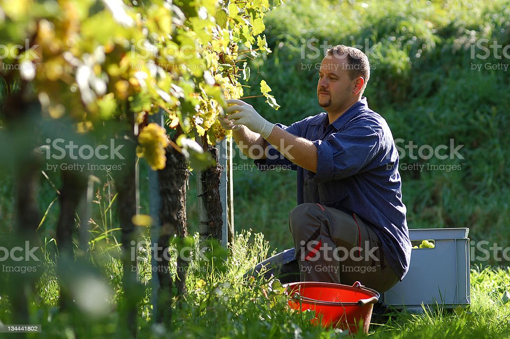 Vintner in the vineyard royalty-free stock photo