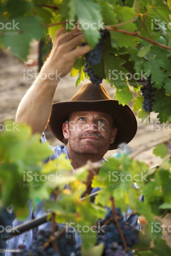 vintner picking grapes in a vineyard royalty-free stock photo
