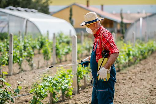 Vintner spraying chemicals on vine grapes