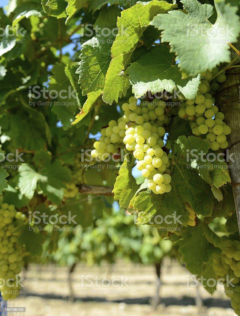 vinyard royalty-free stock photo