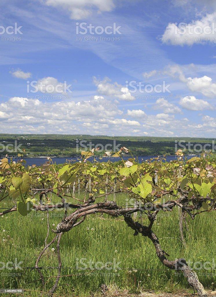 Vinyard, Wine Making stock photo