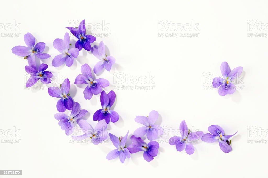 viola blossoms – Foto
