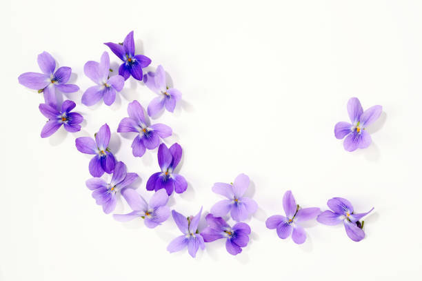viola blossoms - violet stock photos and pictures
