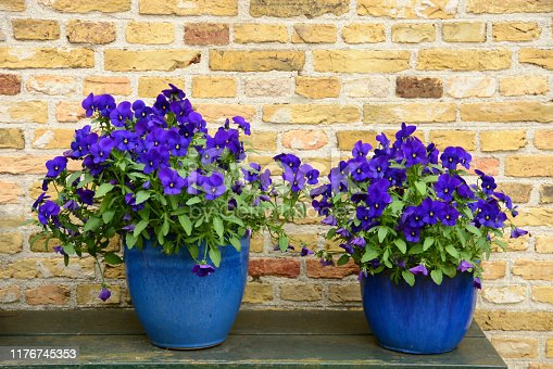 Summer in garden: two flowerpots with cultivated pansy plants in full bloom, standing infront of a brick wall.