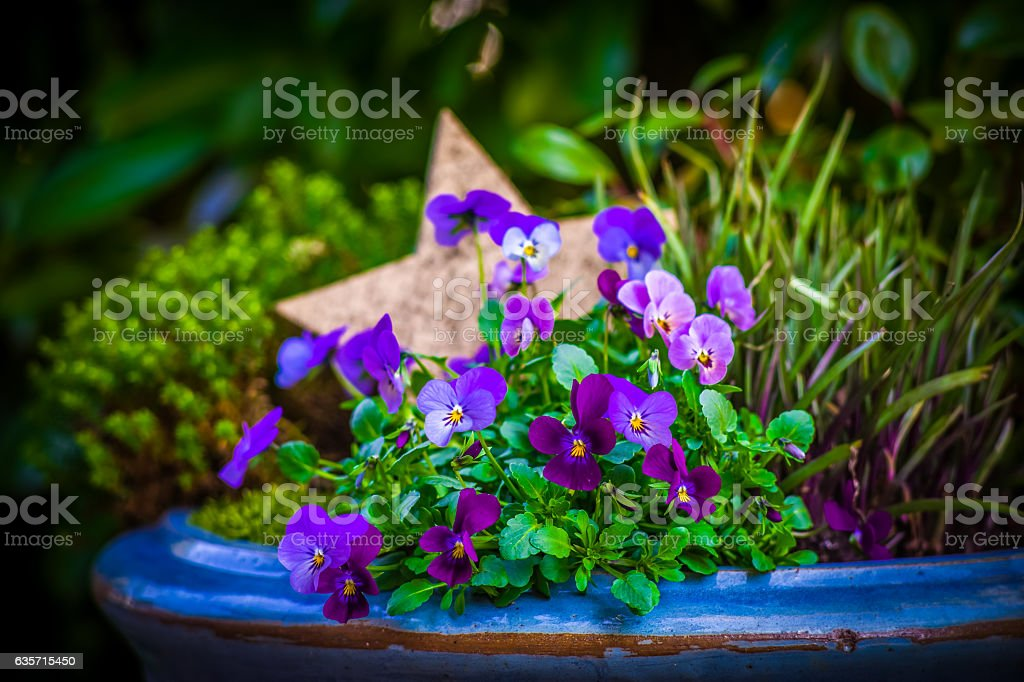 Viola flower and a star royalty-free stock photo