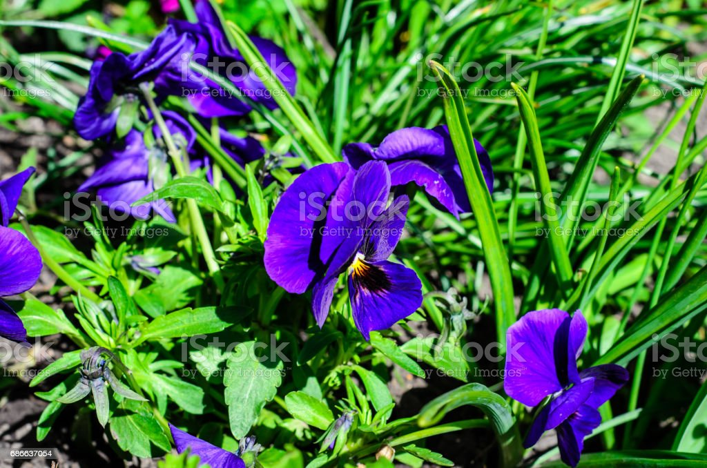 Viola flower on flowerbed in garden royalty-free stock photo