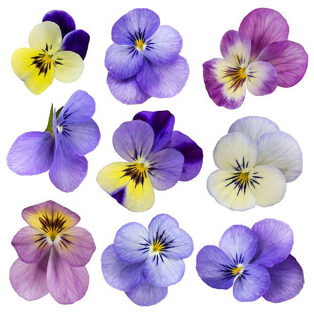 viola flowers - violet stock photos and pictures