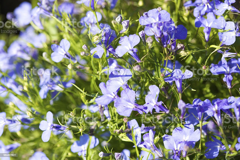 Viola flowers royalty-free stock photo