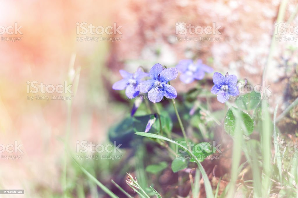 Viola odorata it is also known as sweet violet or english violet it is also known as sweet violet or english violet spring flowers mightylinksfo