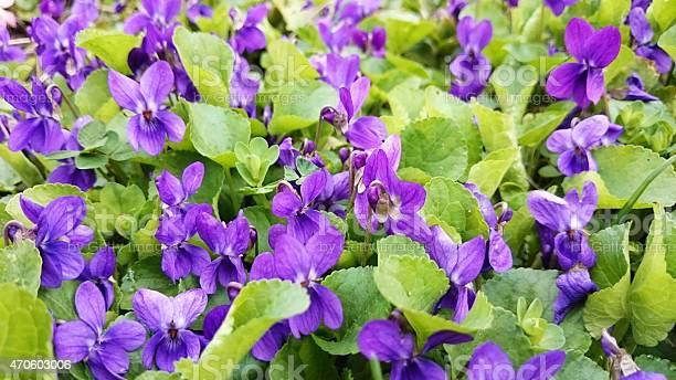 Viola odorata or wood violet picture id470603006?b=1&k=6&m=470603006&s=612x612&h=yqnnmsco7 ncyc mojjd2vsyj649a8jrmfp6m3w2mby=