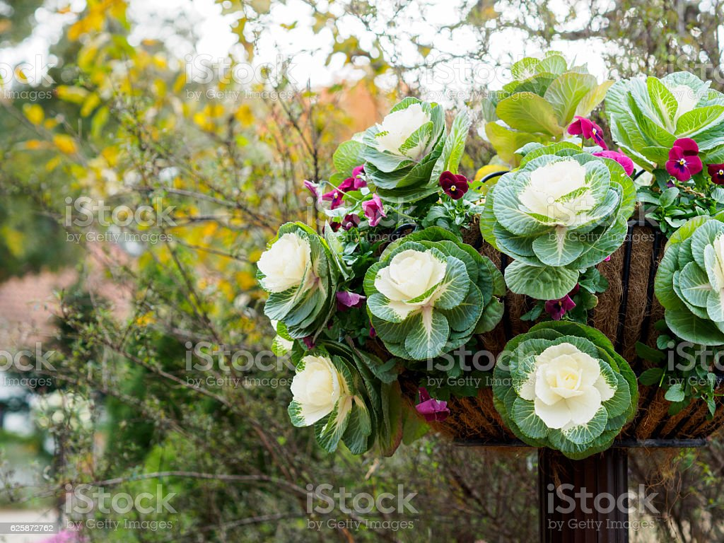 Viola of the white ornamental cabbage and purplish red ストックフォト