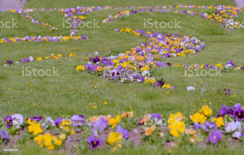Viola tricolor canteiro de flores no parque. Em filme - Foto de stock de Amarelo royalty-free