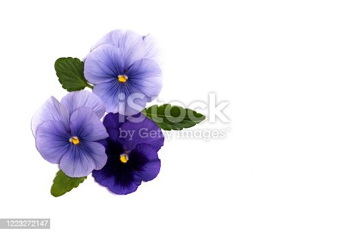 Viola plant violet flower in blossom arrangement isolated with copy space