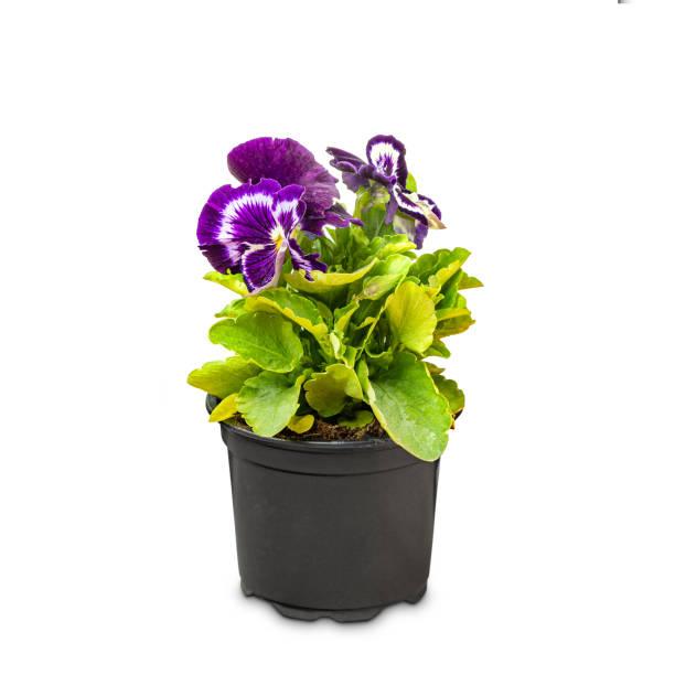 Viola wittrockiana flower stock photo