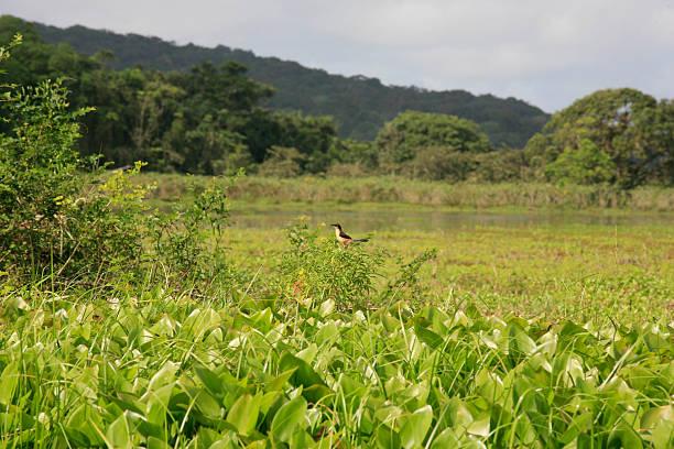 Violaceous Trogon, Kaw-Roura National Nature Reserve, Französisch-Guayana – Foto