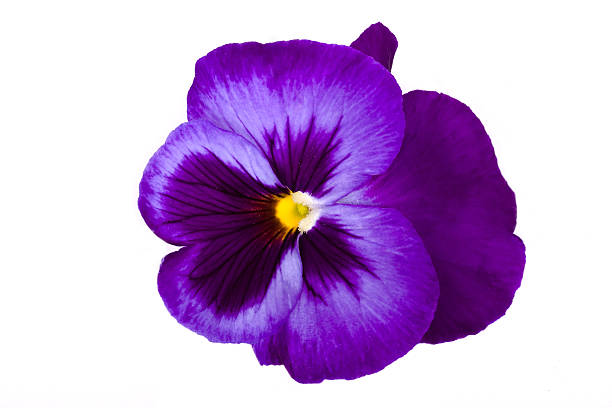 Viola/Pansy Viola/Pansy pansy stock pictures, royalty-free photos & images